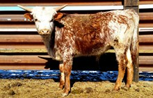 TFP STEER ELDERBERRY